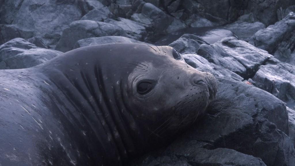 elephant seal on avian Dena Jan 2013