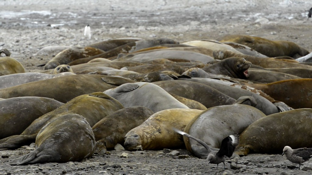 elephant seals and skuas Dena Jan 2013