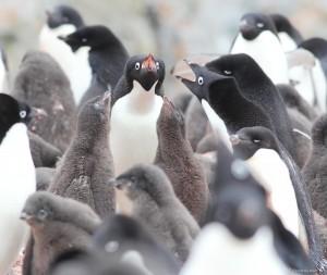 Adelie Penguin Family  Jen Mannas