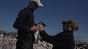 Donna examining the penguin before tagging it at Humble Island.