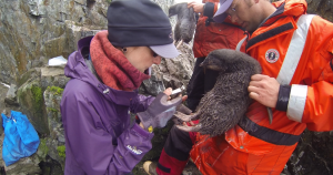 Scientis, Jen Mannas, sampling a young Adelie with the help of her team